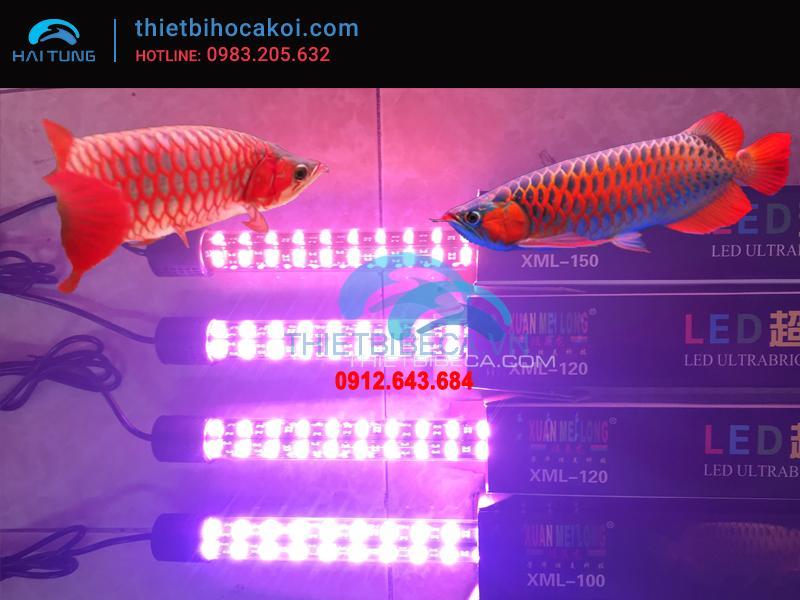 Đèn led cá rồng XML100 hồng 2 hàng bóng