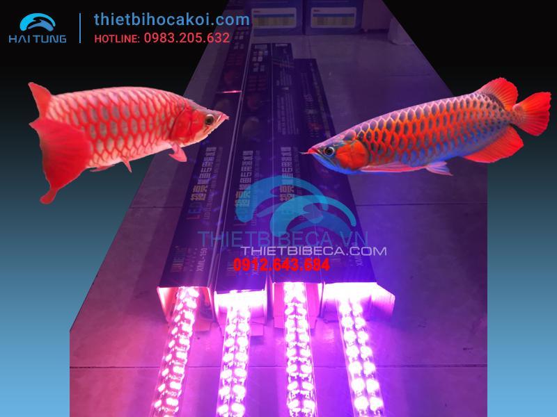 Đèn led cá rồng XML100 hồng 4 hàng bóng