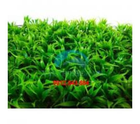 Thảm cỏ thìa